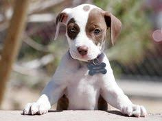 cute pitbull puppies wallpaper. Contemporary Cute Applaud Ban On Puppy Mill Sales  ForceChange To Cute Pitbull Puppies Wallpaper L