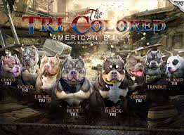 Pitbull Color Chart American Bully Color Chart Mysite