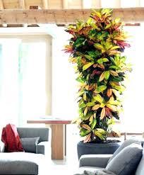 large indoor cactus giant large indoor cactus plants uk