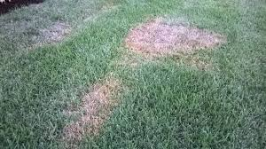 Brown Patch Disease Large Patch And Brown Patch Disease Sod Jacksonville Fl