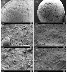 Scanning Electron Microscopy Sem Images Of Sulfur