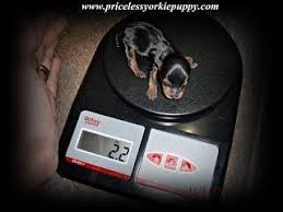 Yorkie Weight Chart Yorkie Growth Growth Chart Puppy