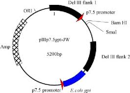 fig    a plasmid diagram of the newly constructed mva transfer    fig    a plasmid diagram of the newly constructed mva transfer vector  piiip   gpt  jw