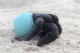 a crab on the beach of henderson island uses a piece of plastic debris as a