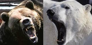 grolar bear size polar bear vs grizzly bear fight comparison