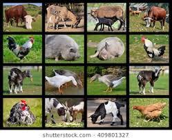 real farm animals collage.  Animals Sixteen Mosaic Photos Of Farm Animals On Real Farm Animals Collage T