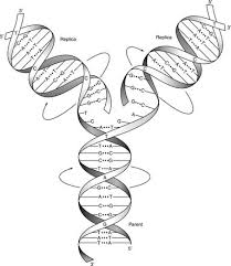 dna replication enzymes