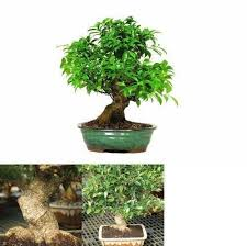 office bonsai tree. Wonderful Office Golden Gate Ficus Bonsai Tree Plant Indoor Home Or Office 15 Years Old 16  Inches With R