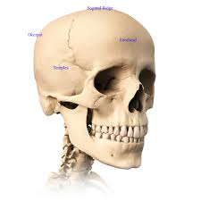 skull anatomy terminology dr barry l eppley very detailed and scientifically correct human skull three orthogonal views plus perspective on