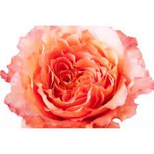 free spirit pink peach garden rose closeup