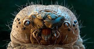 Resultado de imagen de Ácaros al microscopio