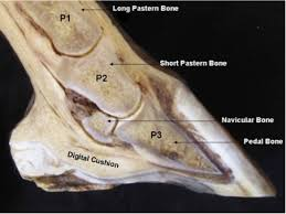 Hoof Anatomy A Beginners Guide The Equine Podiatry
