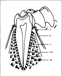 Figure 1 the periodontium the tooth root is held within the alveolar bony socket by the attachment structures of the periodontium