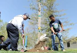 veterans plant olive trees at cal state memorial garden