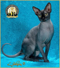 Sphynx Cat Color Chart Photos Of The Top Sphynx For The Show Season 2013 2014