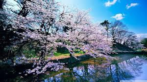 1920x1080 cherry blossom trees 4k hd desktop wallpaper for 4k ultra hd tv
