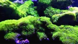 green star polyp lighting requirements. green star polyp lighting requirements x