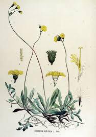 File:Hieracium auricula — Flora Batava — Volume v15.jpg ...