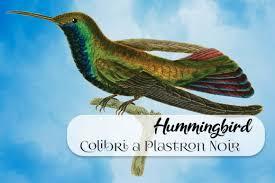 Hummingbird Colibri A Plastron Noir Graphic By Surfnostalgia Creative Fabrica
