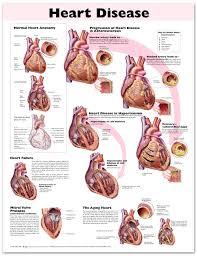 Cardiac Anatomy Chart Heart Disease Anatomical Chart