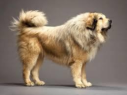 german shepherd tibetan mastiff mix.  Tibetan German Shepherd Tibetan Mastiff Mix  BreedBody Anatomy Of With D