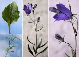 Campanula carnica Schiede ex Mert. & W.D.J.Koch subsp. carnica ...