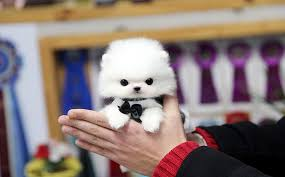 white teacup puppy. Exellent Teacup TEACUP PUPPY And White Teacup Puppy P