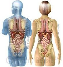 organe körper mann