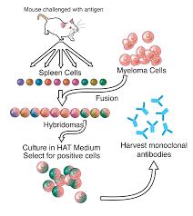 polyclonal antibodies monoclonal antibody wikipedia