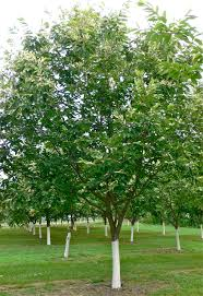 Best 25 Fruit Tree Nursery Ideas On Pinterest  Planting Fruit Hybrid Fruit Trees For Sale
