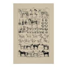 Vintage French Horse Breeds Anatomy Chart Poster