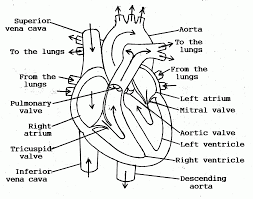 Human Body Heart Coloring Pages With Anatomy 14 18 Printable
