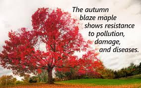 Japanese Maple Growth Chart Autumn Blaze Maple Growth Rate