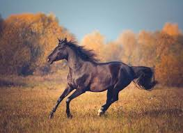 black arabian horse running. Contemporary Running Black Arabian Horse Runs On The Trees And Sky Background In Autumn Stock  Photo  91373872 And Horse Running H