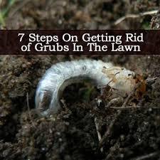 Lawn Grubs 7 Steps For Getting Rid Grub Worms In Your Yard Lawn