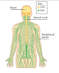 Central Nervous System Vs Peripheral Nervous System Venn Diagram What Is The Difference Between The Peripheral Nervous System And The