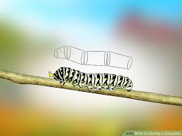 Australian Caterpillar Identification Chart 3 Ways To Identify A Caterpillar Wikihow