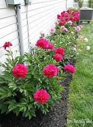 rose flower gardening easy peony flower bed rose flower garden hd rose flower gardening