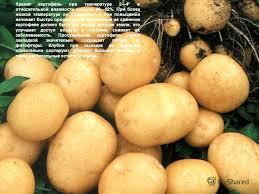 Презентация на тему Курсовая работа на тему Биохимические  4 Хранят картофель