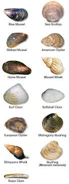 Clam Identification Chart Clam Identification Related Keywords Suggestions Clam