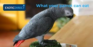 What Do Parrots Eat Exoticdirect