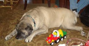 an older and very calm english mastiff