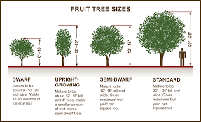 Avocado Tree Size Chart Avocado Tree Size Chart Best Tree In The Forest