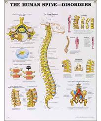 Vertebrae Number Chart The Human Spine Disorders Anatomical Chart