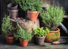 companion planting for herbs koti beth