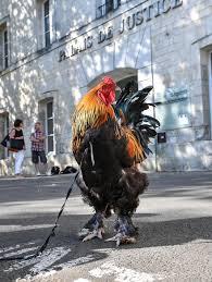FOTO: Ayam Ini Jadi Terdakwa di Pengadilan - Global Liputan6.com