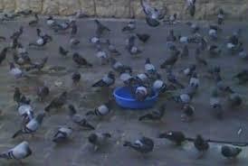 """موقع دمشق - """"الحمام الدمشقي"""" فسيفساء من الطيور أمام الجامع الأموي"""
