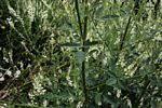 Flora of Zimbabwe: Species information: Melilotus albus