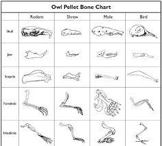 Owl Pellet Bone Chart Owl Pellet Bone Identification Chart Bedowntowndaytona Com