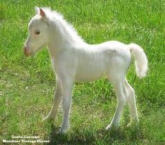 white baby horses playing. Contemporary Playing Cute White Miniature Horse Foal  Therapy Horses Of Gentle Carousel Our  And White Baby Playing O